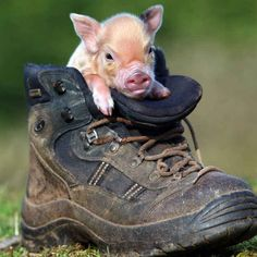 Pig in a shoe